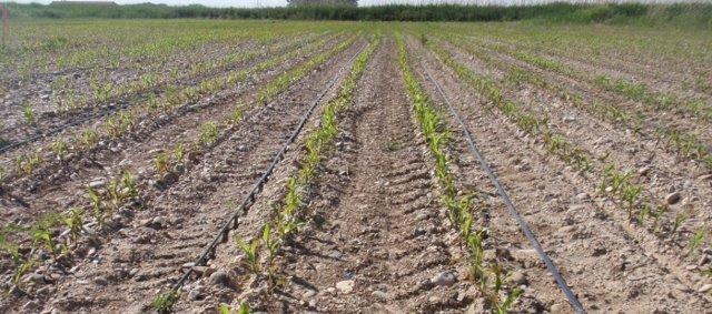 Riego por goteo en un cultivo extensivo