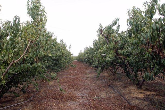 Árboles frutales en Andalucía