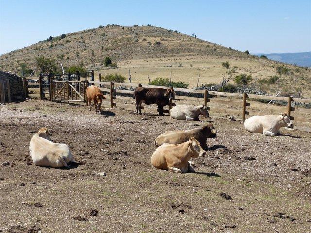 Vacas, ganado vacuno, ganadería, bovino
