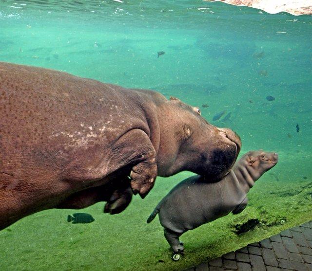 Nuevo hipopótamo