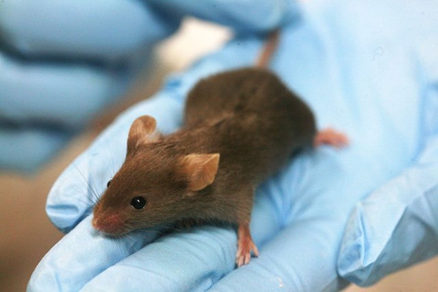 Ratón de laboratorio