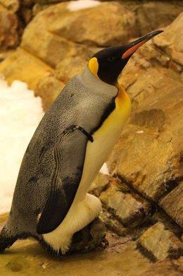 Un ejemplar de pingüino Rey incubando a su cría en Selwo Marina