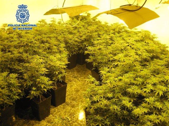Invernadero de 250 plantas de marihuana situado en una vivienda