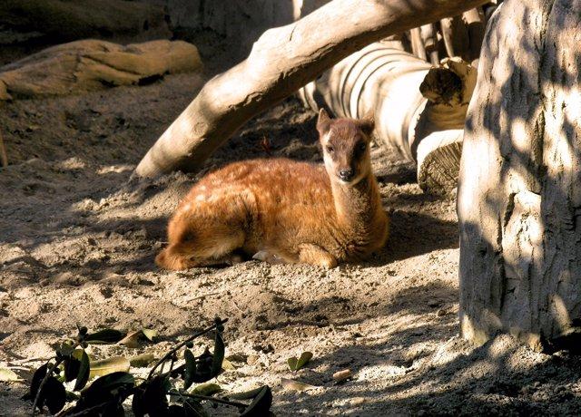 Ciervo de Filipinas nacido en España por primera vez en Bioparc Fuengirola