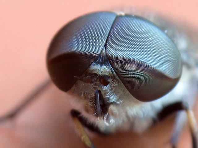 """Una ola de calor causó una """"dramática"""" alteración genética en las moscas europeoas"""