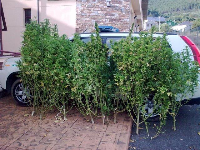 Cannabis Interceptado En Quiroga.