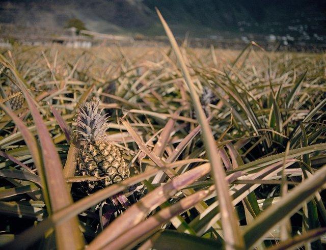 Cultivo De Piña Tropical