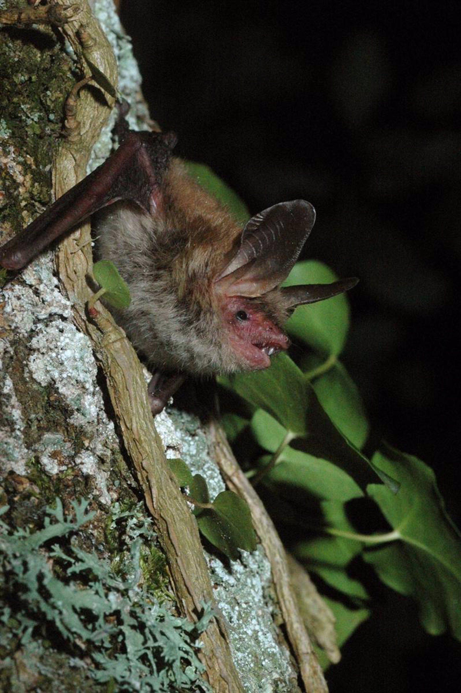 Los murciélagos despegan mediante el uso de energía reciclada de los tendones