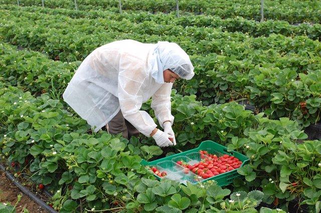 Una trabajadora recoge fresa en una producción en Huelva