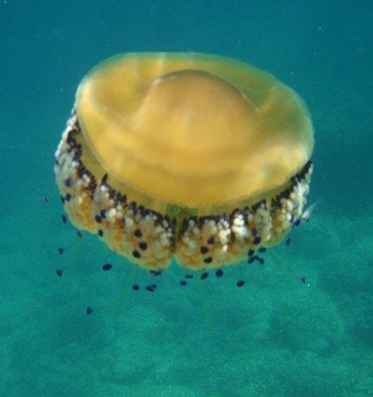 El CSIC prevé una de las mayores llegadas de medusas de los últimos quince años