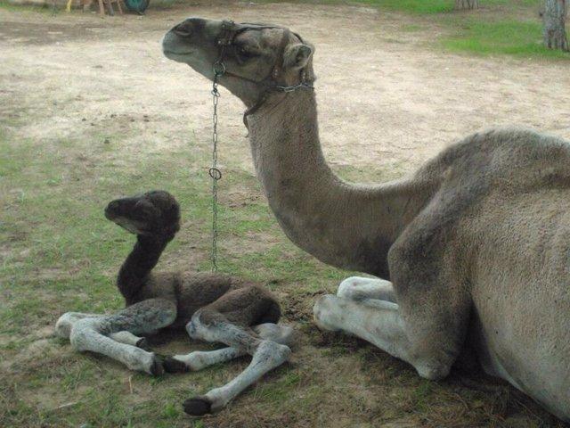 Nuevo dromedario nacido en el Parque Dunar.