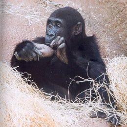 Gorila Procedente De Praga