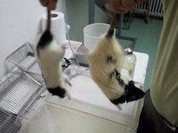 Ratas De Laboratorio Zucker Jóvenes, Obesas Y Diabéticas