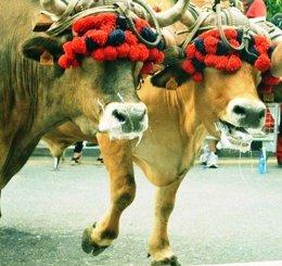 Prueba de bueyes en Leioa