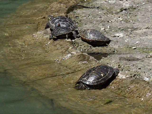 Imagen De Unas Tortugas En Un Parque