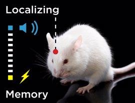 La memoria a largo plazo se ubica en la corteza cerebral y no en el hipocampo