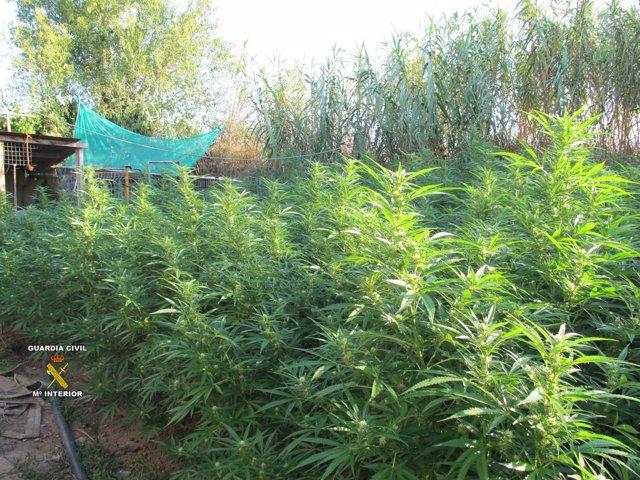 Plantas de marihuana intervenidas en Vilafant (Girona)