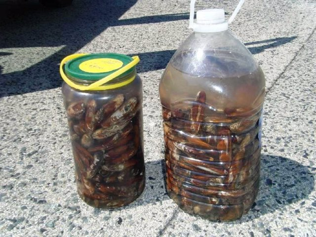 Dátiles de mar decomisados