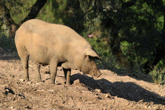 Cerdos para jamón ibérico