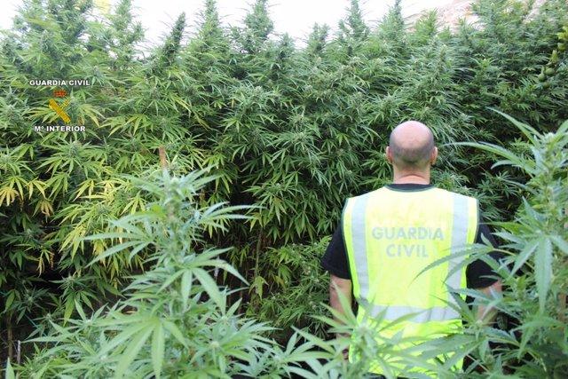 Plantas de marihuana incautadas en una finca de Costitx