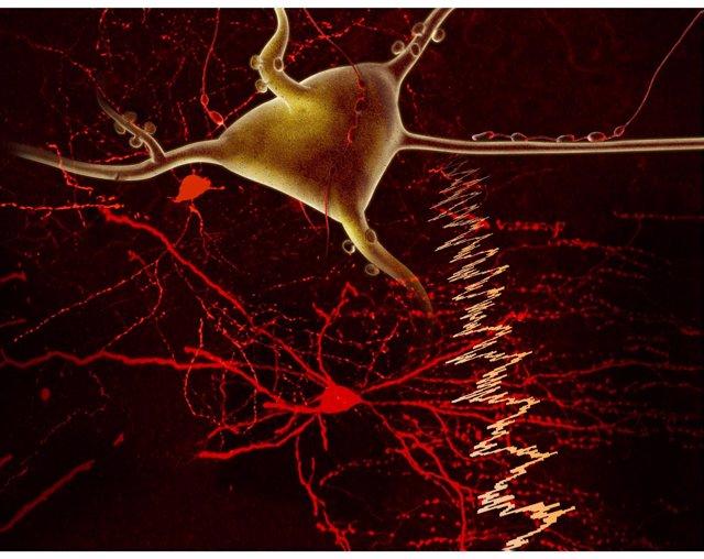 Relación de interneuronas inhibitarios y neurona piramidal en la corteza cerebra