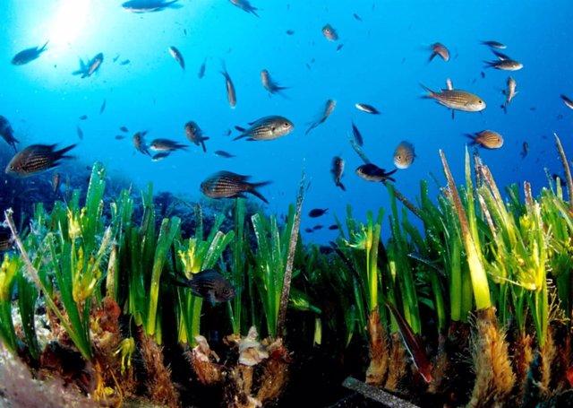 Pradera De Posidonia Oceanica En Formentera.