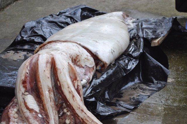 Calamar gigante hallado en una playa de Pechón