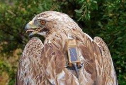 Águila Calzada Maruján Marcada Con GPS