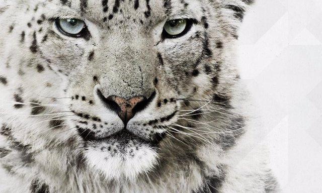 Leopardo asiático de las nieves