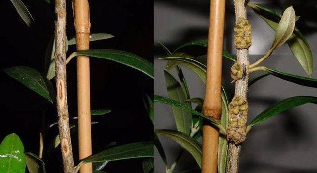 Efecto preventivo del fungicida en un plantón de olivo inoculado con la enfermed