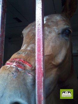 El caballo herido por la utilización de las 'serretas vivas'