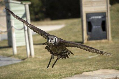 El modo en que los búhos cazan a sus presas puede servir para diseñar aviones y aerogeneradores menos ruidosos