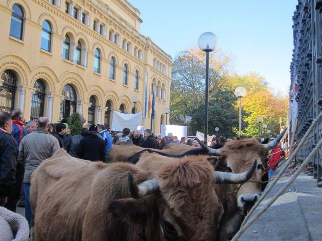 Vacas atadas a la sede del Parlemento junto a Presidencia.