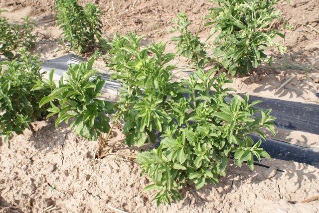 Plantaciones de 'stevia'