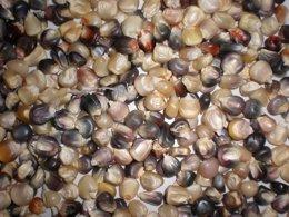 CSIC presenta un estudio sobre el maíz en Galicia