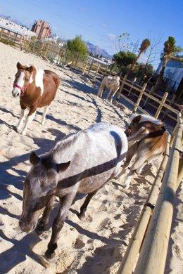 Escuela infantil de equitación de ponis de Murcia