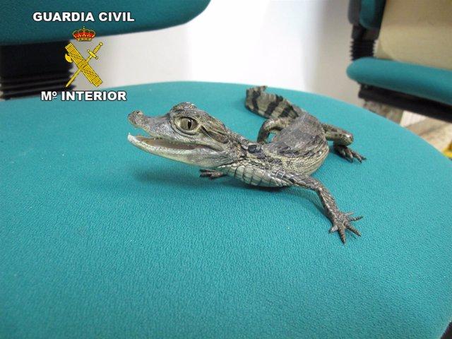 Cría de caimán recuperada en Sant Pol de Mar