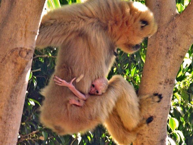 Gibón mejillas doradas nacido en bioparc unico primate peligro de extinción