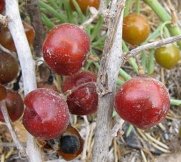 Especie Asparagus Macrorrhizus, endémica de Murica