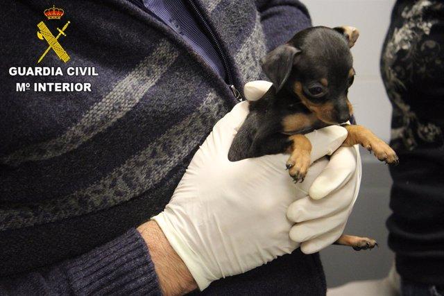 Guardia civil intercepta introducción de cachorros