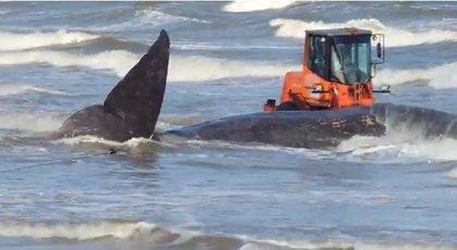 El fuerte oleaje impide retirar una ballena muerta de una playa de Montevideo
