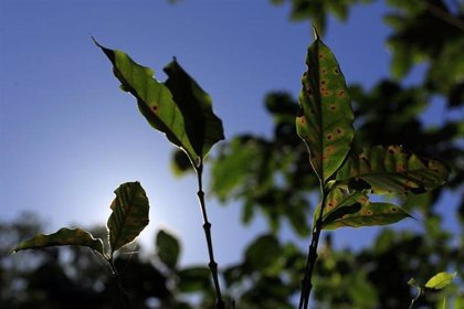 Costa Rica lanza programa de venta de semillas de café resistentes al hongo de la roya