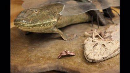 Fósiles de 375 millones de años revelan que las patas de los animales son una ampliación de las aletas traseras