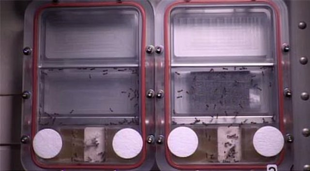 Hormigas en la ISS