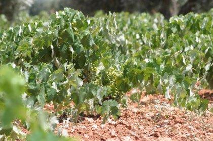 Agricultura abre el plazo para presentar planes de reestructuración y reconversión del viñedo en la campaña 2013-2014