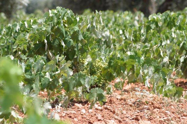 Un viñedo