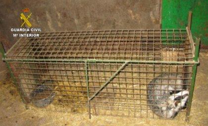 La Guardia Civil interviene en Vidayanes (Zamora) un tejón que se utilizaba para entrenar a perros de caza