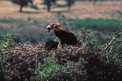 Medio Ambiente inicia una campaña en centros educativos para la conservación del buitre negro