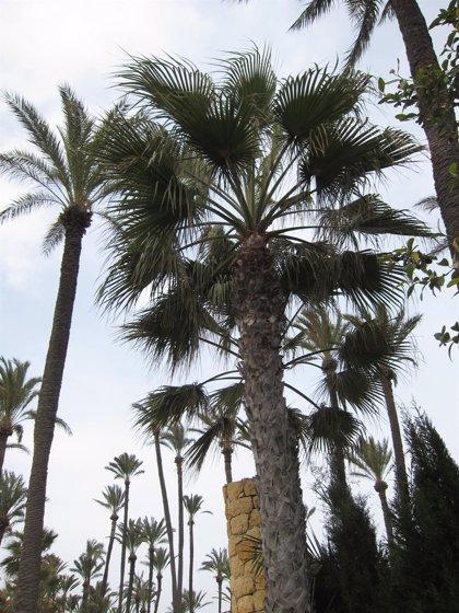 La Junta tratará las palmeras de los puertos de Fuengirola y Caleta de Vélez contra la plaga del picudo rojo