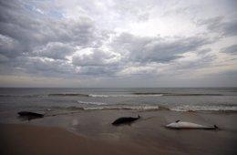 Delfines varados, muertos